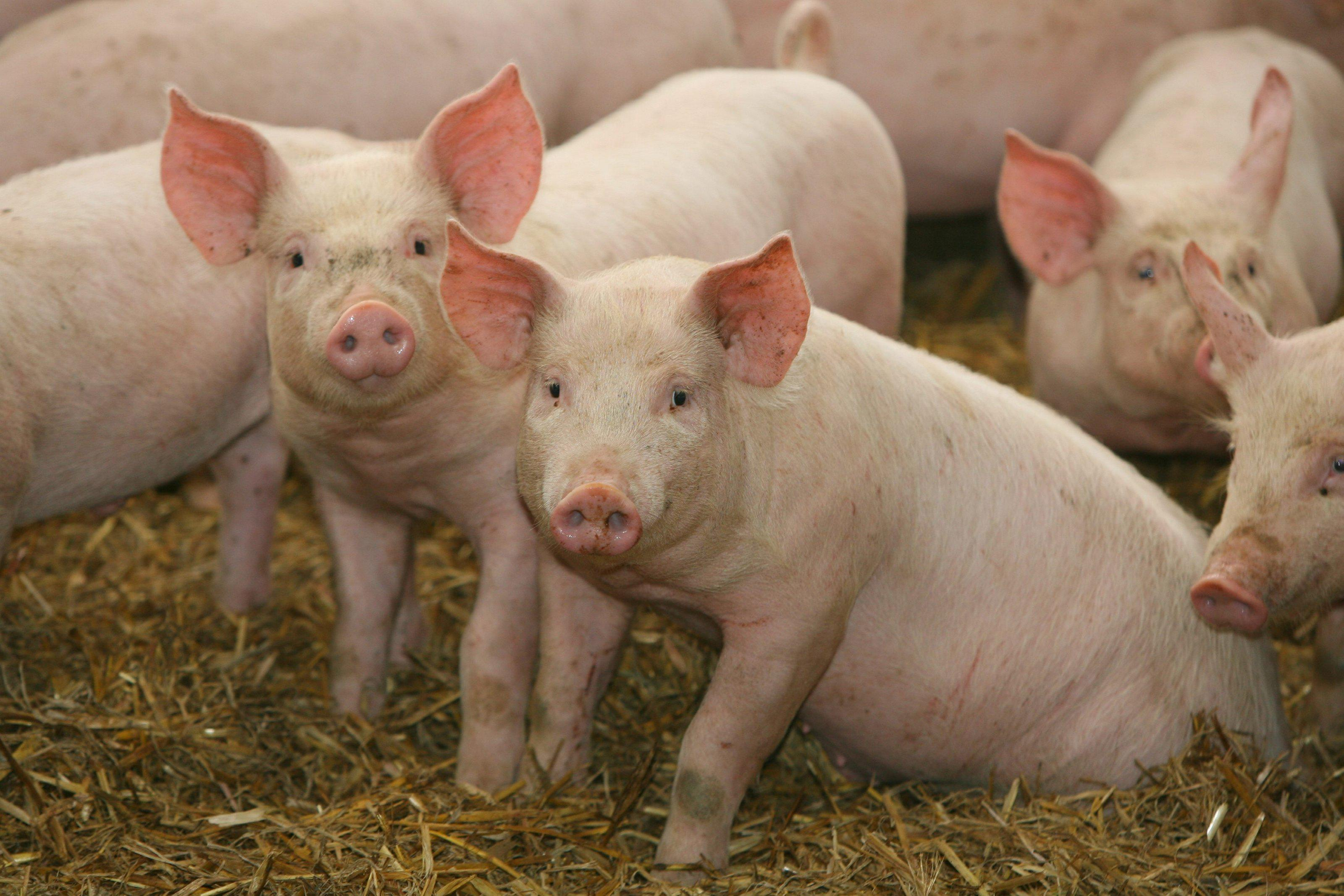 Cách phân biệt dịch tả lợn châu phi và dịch tả lợn cổ điển